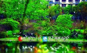 桂林漓江市区段成为白鹭栖息地 逐渐形成群落(图)