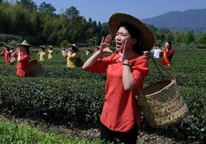 """武夷山:""""喊山""""采茶"""
