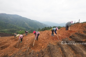 柳州三江:抢种生态富民常青树