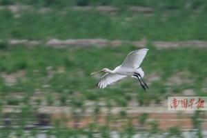 白琵鹭现身南湖公园水草中 广西境内不多见(图)