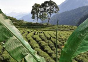 """西藏墨脱:茶业变成致富""""金叶"""""""