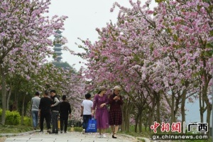 广西罗城:紫荆花花开引客来