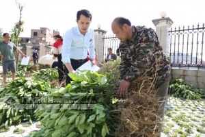 助农增收 环江向群众免费发放13万株红心香柚苗