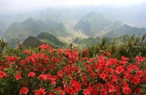隆林:人间四月芳菲尽 扎云山上映山红