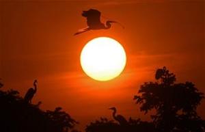 鄱阳湖畔白鹭进入孵化繁殖期