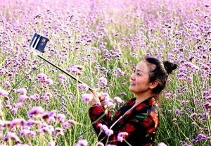 浪漫极了!柳州市鹿寨县马鞭草花盛放引客来(组图)