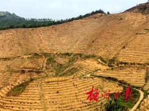 梧州六堡镇扩大茶园种植加快特色小镇建设步伐
