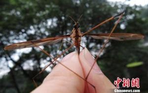成都发明翅展达11.15厘米的巨型蚊子集体