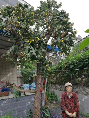 34年种出5米高 好多桂林人打卡这棵