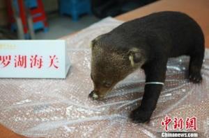 年幼小熊被制成标本 男子走私濒�:谛鼙瓯颈徊�
