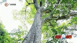 广西龙州蚬木王获选中国最美古树