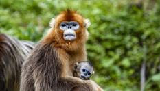 湖北神农架的金丝猴