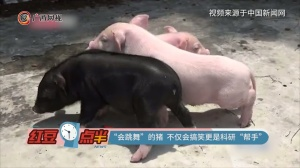"""""""会跳舞""""的猪 不仅会搞笑更是科研""""帮手"""""""