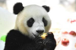 """广州大熊猫消暑有""""凉""""方"""