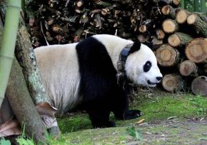 大熊猫下山到村民家做客