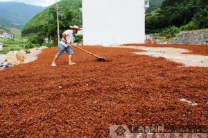农行凌云县支行助力八角经济林特色产业发展