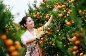 广西柳城:侨乡万亩蜜桔飘香