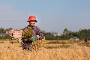 高清:喜迎丰收 金灿灿的稻田里有农民忙碌的身影