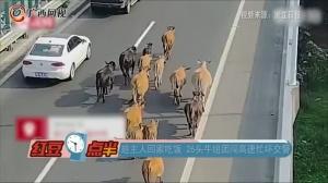 趁主人回家吃饭 26头牛组团闯高速忙坏交警