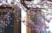 悉尼:蓝花楹盛放