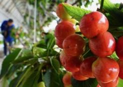 河北曹妃甸:盐碱地上种樱桃
