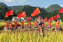 高清图集:金色稻田当舞台 百色农民丰收庆国庆