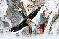 就在崇左 我国首次记录到冠斑犀鸟在崖壁上繁育