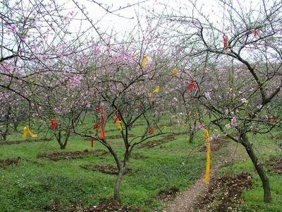 恭城桃花节--桃花树上的情人结