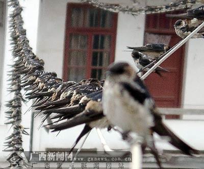 燕子们成群结队准备回家.梁富盈摄