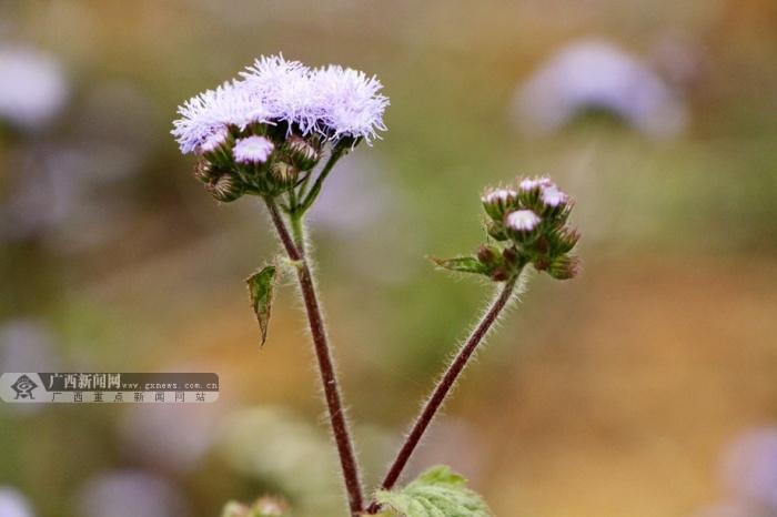 高清:广西大学花儿朵朵春色撩人