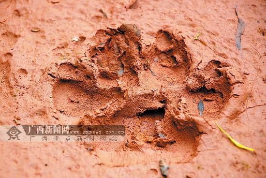 十万大山现大型猫科动物踪迹