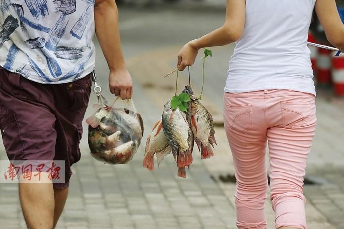 高清:南宁长湖路竹排冲现大量的死鱼 市民捞鱼忙