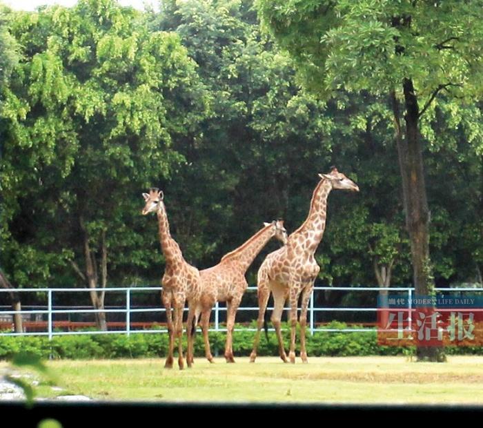 南宁动物园从南非引进3只长颈鹿