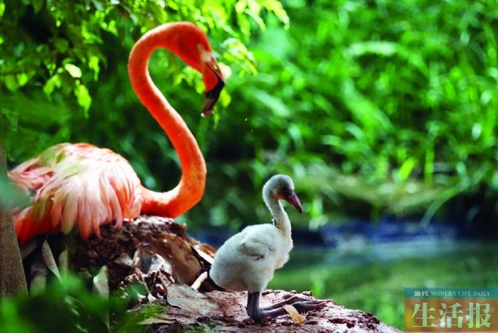 高清:南宁动物园珍稀火烈鸟10年来首次成功繁殖(2/3)