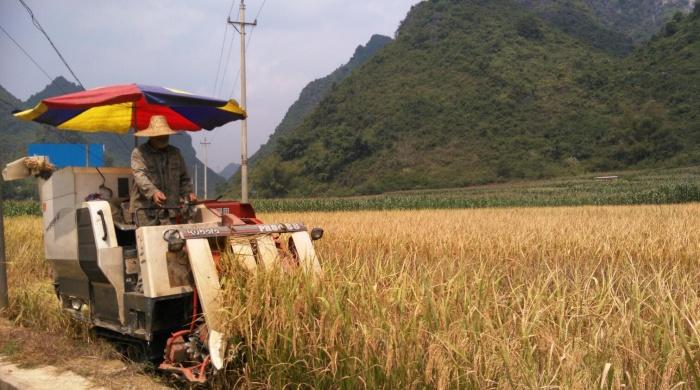 大化晚稻收割忙
