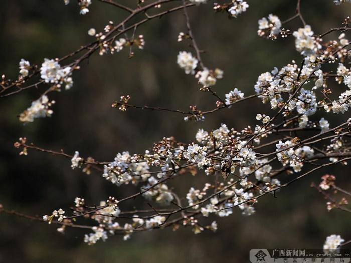 高清:乐业樱花迎春绽放似雪如云