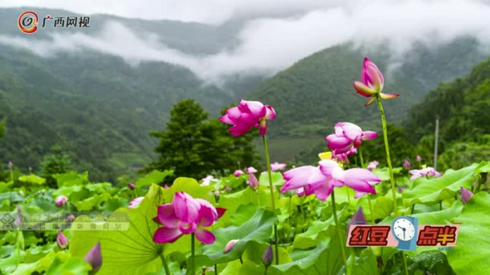桂林:雨后荷花分外娇