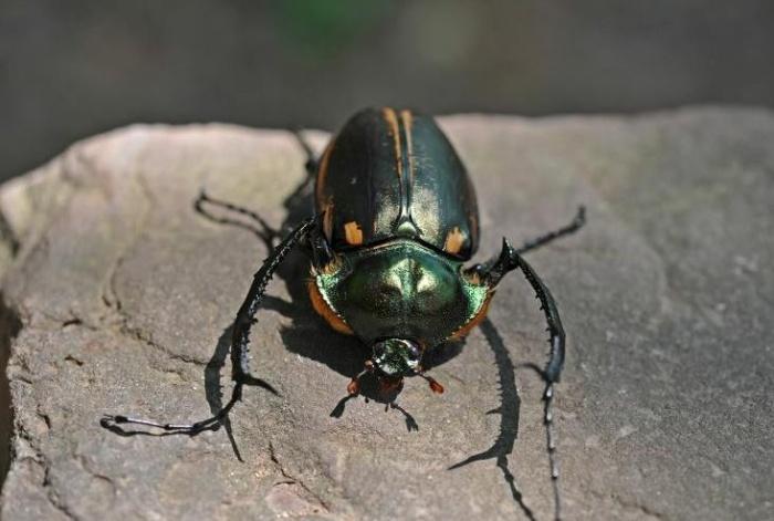 村民在家门口捡大甲虫 竟是国家二级保护动物