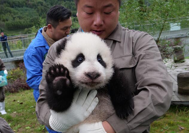 36只新生大熊猫宝宝亮相