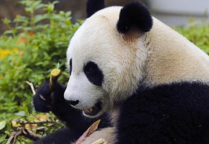大熊猫的安逸秋日生活