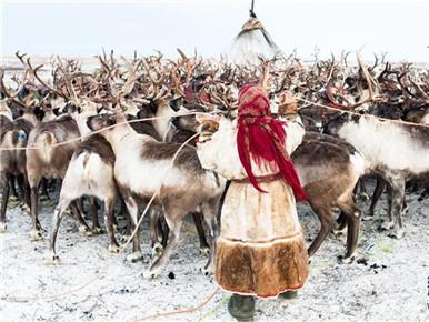 """涅涅茨人——""""冰上丝路""""沿线的驯鹿牧民"""