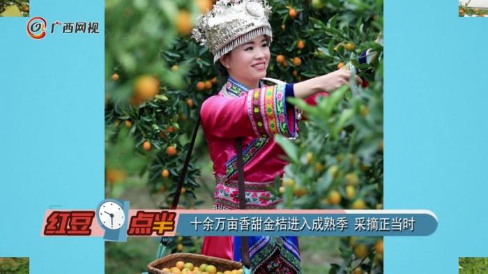 十余万亩香甜金桔进入成熟季 采摘正当时