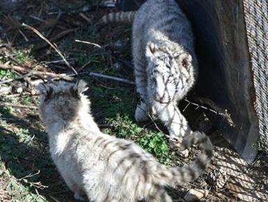 云南6胞胎小白虎与游客见面