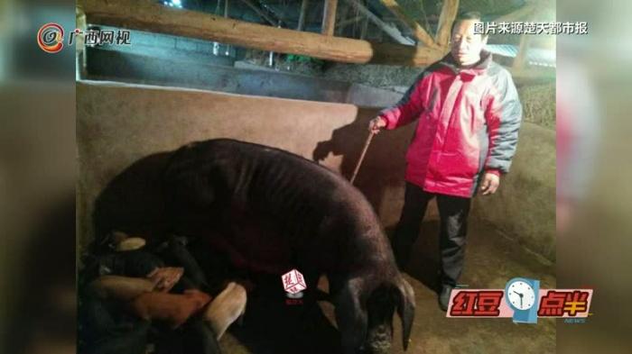 稀奇!黑猪妈妈一窝产下20崽 小猪吃奶要排队