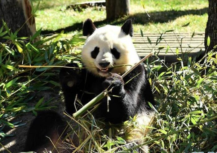 中西两国续签熊猫合作协议