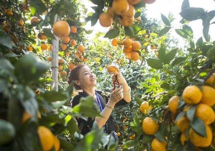 四川石棉:黄果柑迎来丰收季