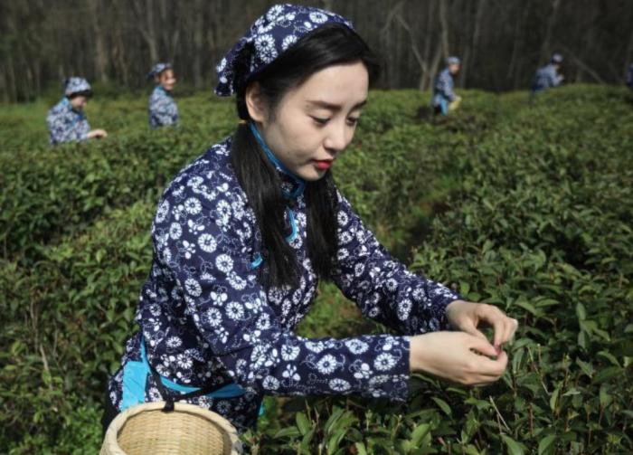 南京中山陵园雨花春茶