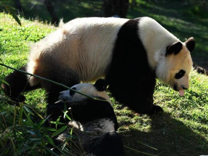 """马德里动物园的""""熊猫姐妹"""""""