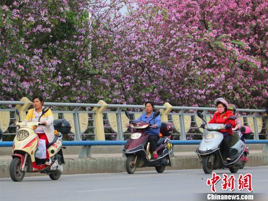 广西柳州紫荆花开满城 民众徜徉花海世界