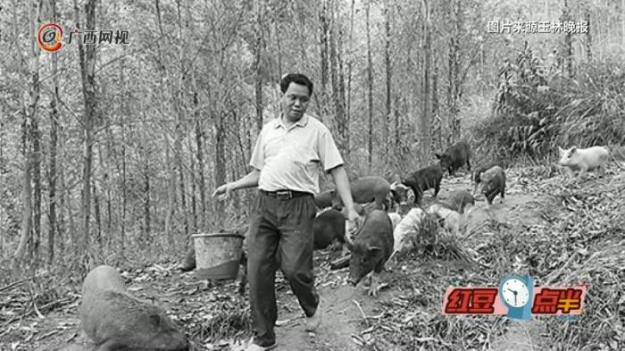 农民山中养野猪 猪肉100元/公斤供不应求